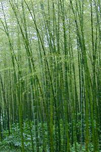 bamboo_sacred-union-200px